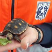 En fiscalización realizan en la Avanza El Loa, Aduanas rescata tres tortugas de patas rojas