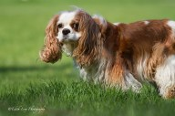 cavalier king charles spaniel, dog, park,