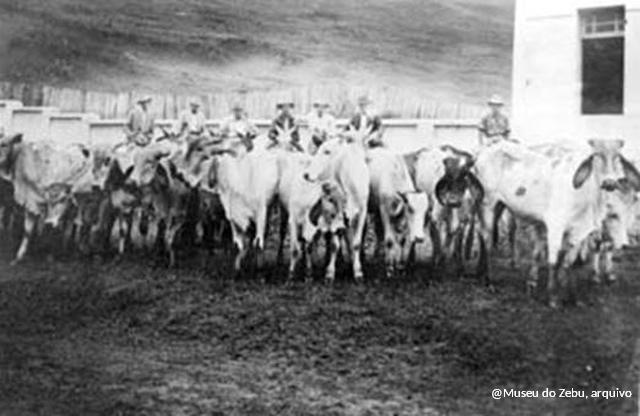 """Mascates foram considerados os primeiros """"marketeiros"""" do Zebu. Na foto, grupo posa com o lote de novilhas vendidas a Maroveo Torres Pereira, em 1946"""