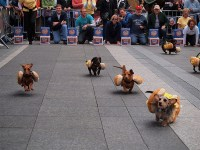 Dachshunds Dress In Hot Dog Costumes For The Running of ...