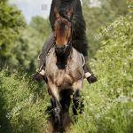 Model Released Woman Riding Belgian Draft Horse Editorial Stock Photo Stock Image Shutterstock