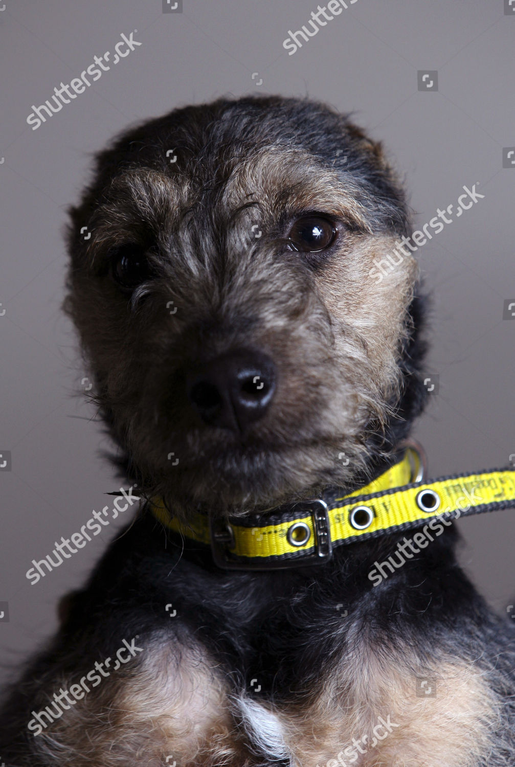 Dog With No Ears : Weasel, Terrier, Editorial, Stock, Photo, Image, Shutterstock