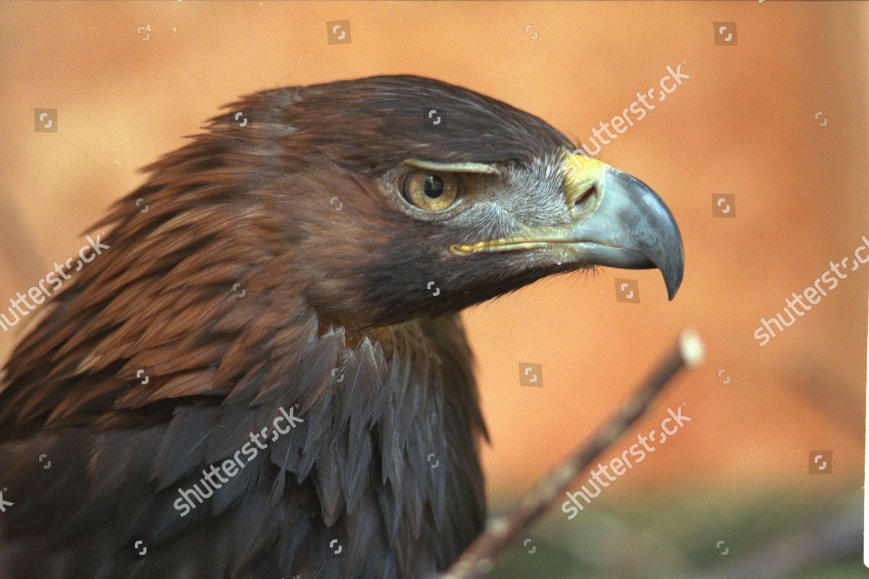 sable golden eagle eagle