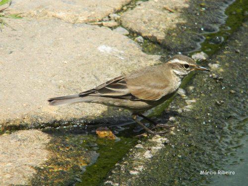 Em Peruíbe: Pássaro é fotografado pela primeira vez no Estado de SP