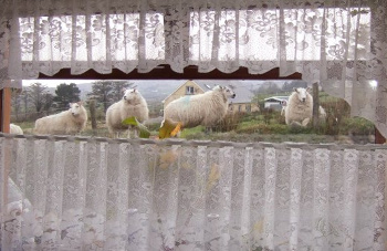 Window Sheep