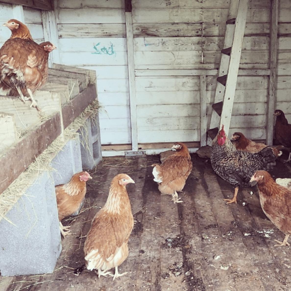 raising chickens in toronto edit seven 2018