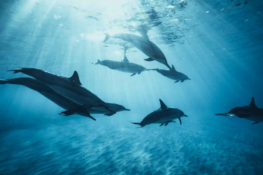 school of dolphins in water