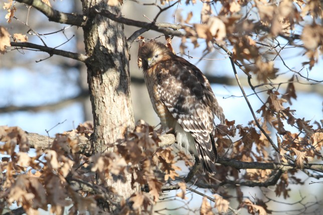 Hawk perched on a tree outside the Kitselman Center