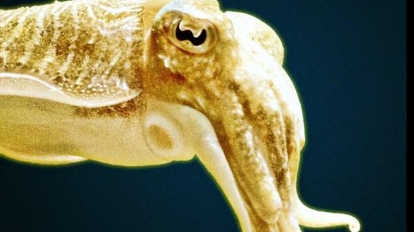 big voyage cuttlefish ep