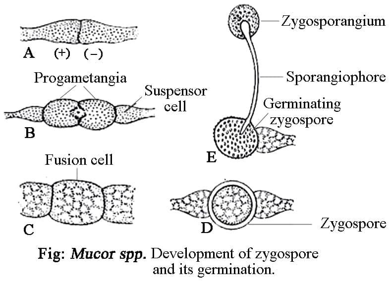Mucor Germination