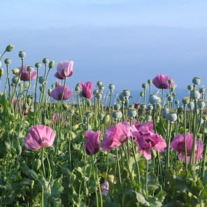 A riot of Poppies beside the sea