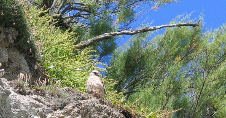 Nesting buzzard amongst the Tamarisk