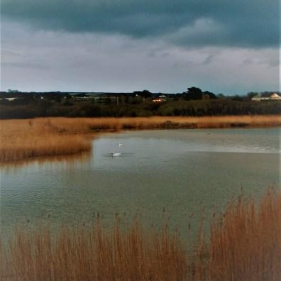 swans at dusk on a marsh pond