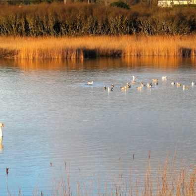 wild fowl on the water in the late winter sun