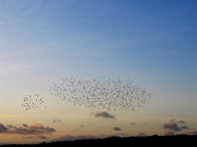 starlings in a sunset sky