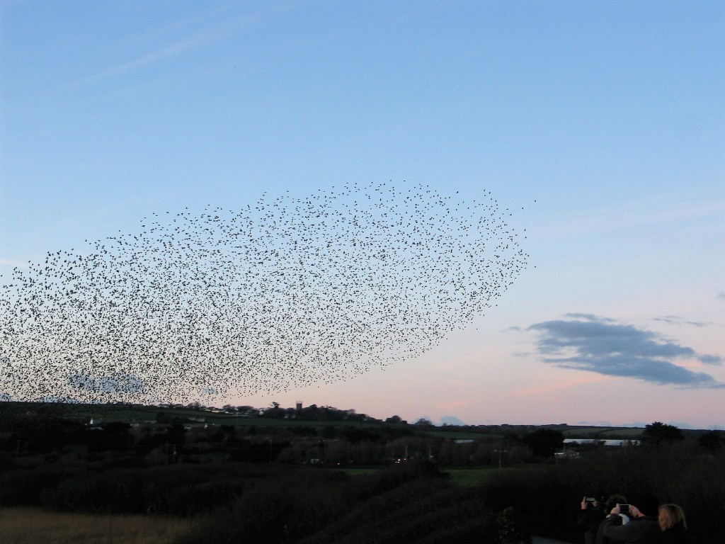 soft red sky and a murmuration going to roost