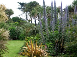 Summer echiums