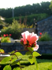 A vintage rose in the first dawn rays of sunshine