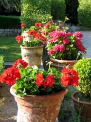 Vibrant geraniums