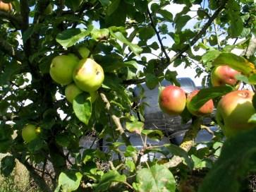 Vintage apple arieties