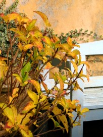 Fading Hydrangea leaves
