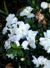 My supermarket Azalea is a mass of blooms this year