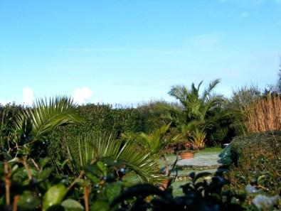 Date palms in the italian Garden