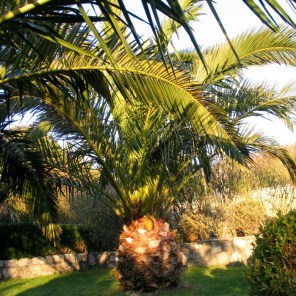 Date palms in Cornwall