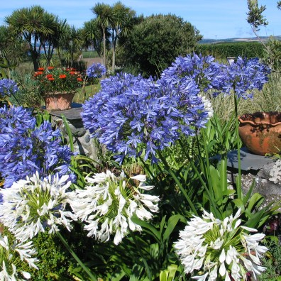 Agapanthus on a summer day