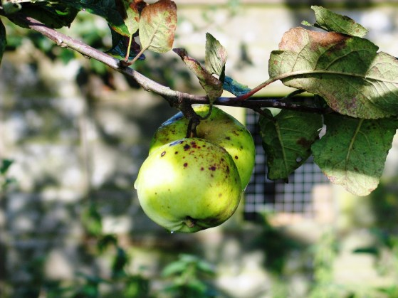 Apples and hen house