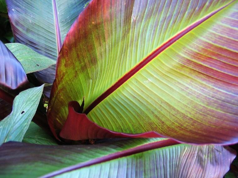 red banana leaf