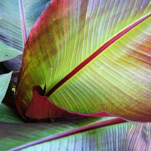 red banana leaf