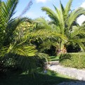 The date palms in the courtyard gardens