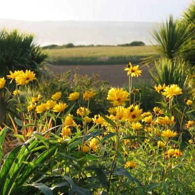 sunflowers of autumn