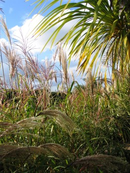 The miscanthus so bright at the beginning of the month have started to fade already
