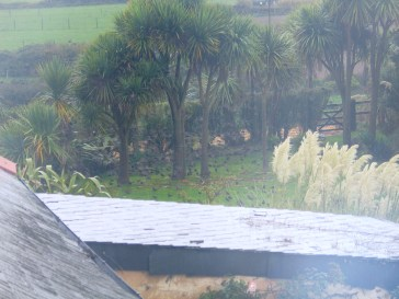 A misty morning and starlings settle to feed on the lawn