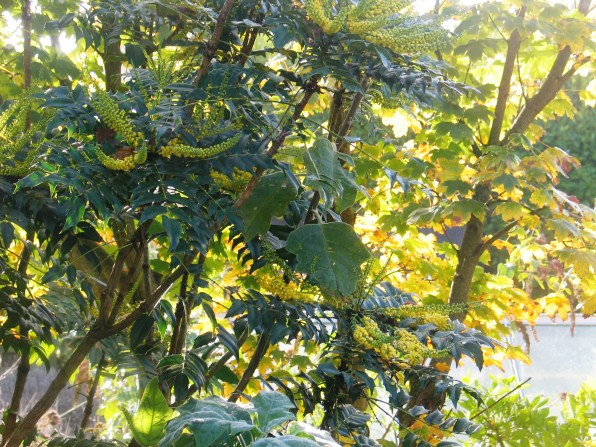The Mahonia has grown so tall that the flowers are almost out of reach