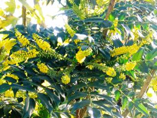 Mahonia glows in the autumn sunshine and gives a real lift to the garden at this time of year