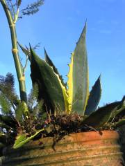 Agave against a blue November sky
