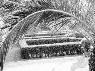 Looking down across the parterre through the date palms