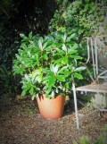 We have an alkaline clay soil and so unusually for Cornwall this Rhododendron has to live in a pot