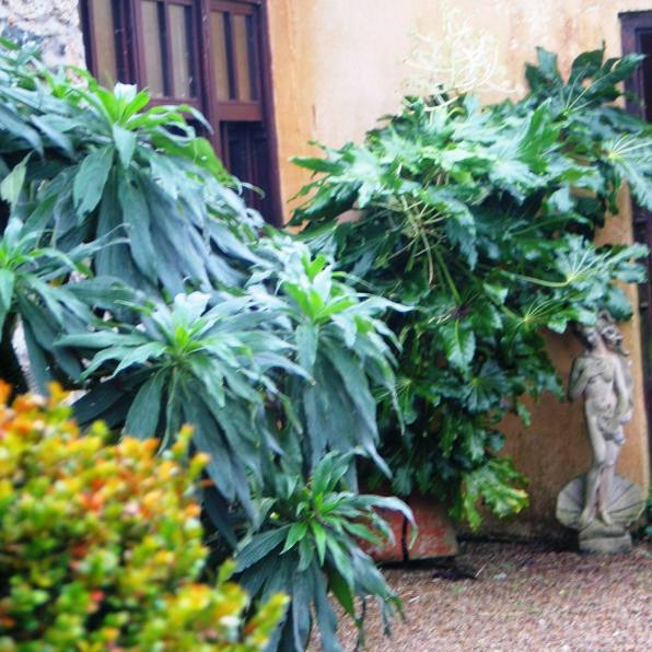 The Echium seems to compliment the Fatsia in the corner of the courtyard