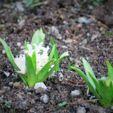 December hyacinth