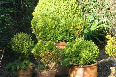 Winter sunshine on pots of box topiary