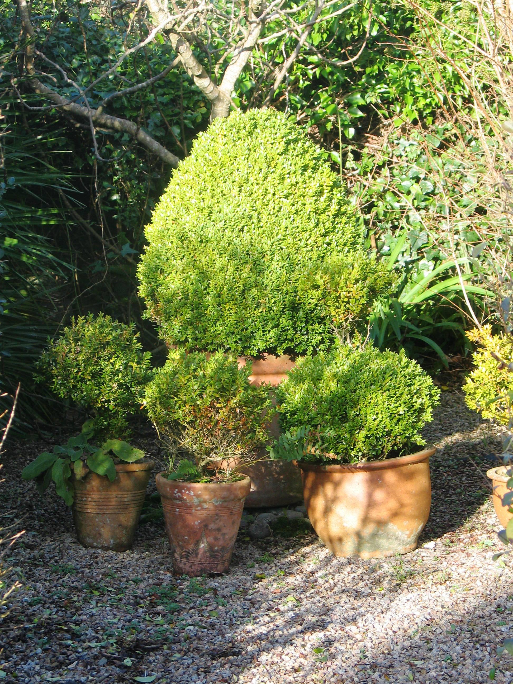 Winter sunshine on pots of box topiary