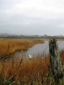 Swans on a misty day at the RSPB reserve in Marazion