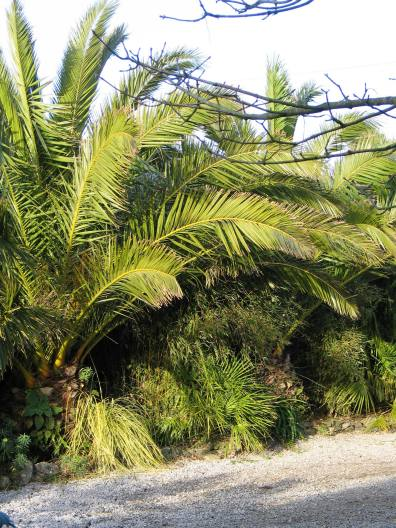 The never changing evergreen of the date palms soften winter days
