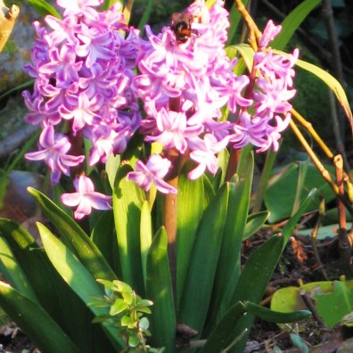 Hyacinths are starting to spread their rich scent through the garden now
