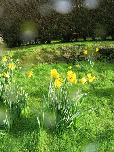 Daffodils and raindrops in the sunshine