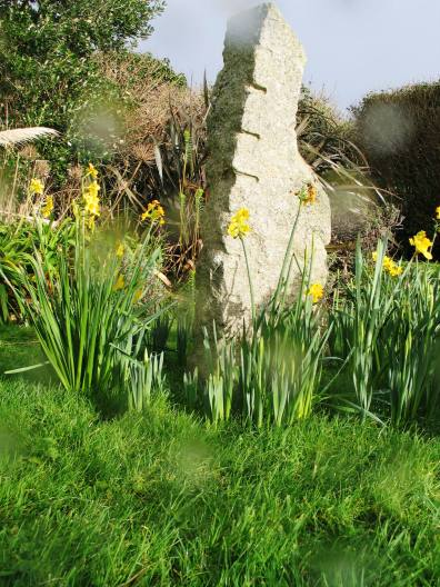 The growing number of Daffodils around ur memory stone